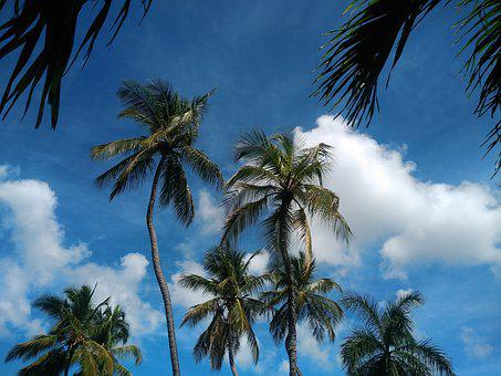 Trees, Coconut Trees, Clouds, Branches, Sky, Blue Sky