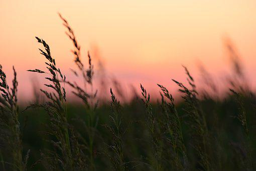 Corn, Sunset, Nature, Green, Vegetation, Summer, Colors