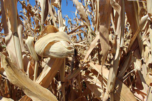 Corn, Cultivation, Earth, Harvest, Cereals, Grain