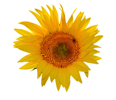 Sun Flower, Flower, Flowers, Blossom, Bloom, Summer