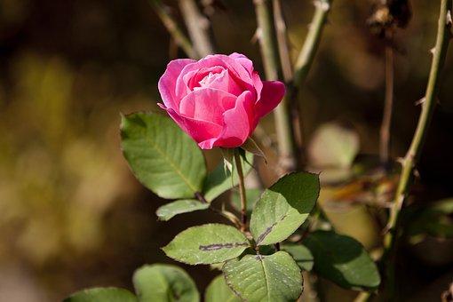 Rose, Pink, Flowers, Beautiful, Pink Rose, Garden