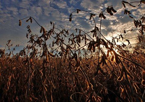 Soybeans, Harvest, Agriculture, Field, Farm, Farming