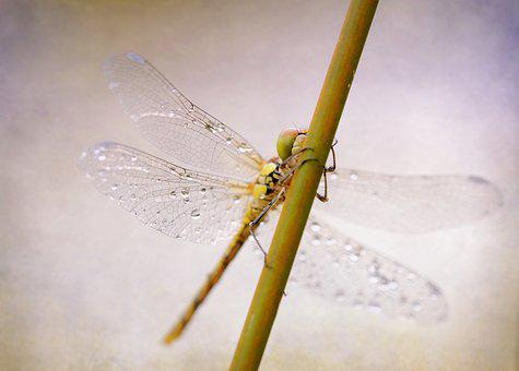 Dragonfly, Darter Sympetrum, Insect, Close, Reed, Wing