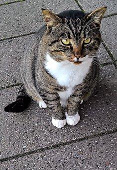 Cat, Pet, Mongrel Cat, Mammal, Grey Mackerel