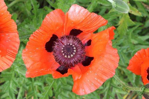 Poppy, Flower, Red Poppy, Klatschmohn