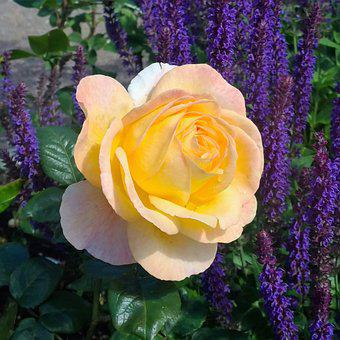 Ros, Fredsros, Flower, Roses, Garden, Romantically