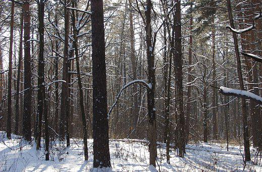 Winter, Forest, Snow, Landscape, Pine, Winter Forest