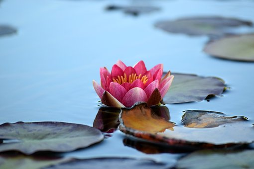 Water Lily, Pond, Nature, Lily, Flower, Aquatic