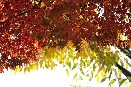 Autumn, Autumn Leaves, Maple, Landscape, The Leaves
