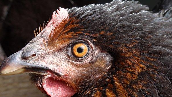 Hen, Poulette, Poultry, Chicken, Beak, Eyes, Ridges