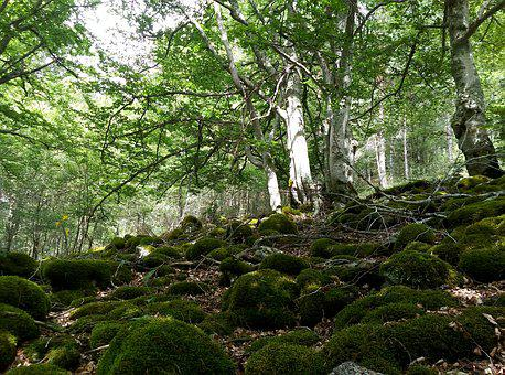 Beech, Hayedo, Forest, Green, Nature, Trees, Tree