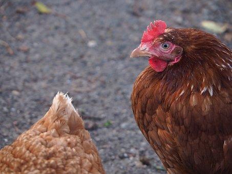 Hahn, Egg, Hen, Bill, Bird, Feather, Chicken, Male