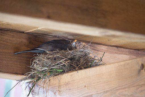 Bird, Nest, Blackbird, Bird's Nest, Breed