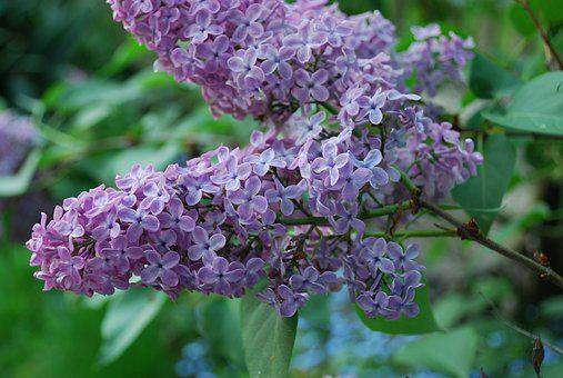 Lilac, Blossom, Bloom, Nature, Purple, Decorative Bush