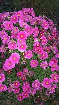 Blütenmeer, Flowers, Cosmea, Summer, Pink