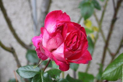 Flower, Rosebush, Pink, Red Color, Double Heart
