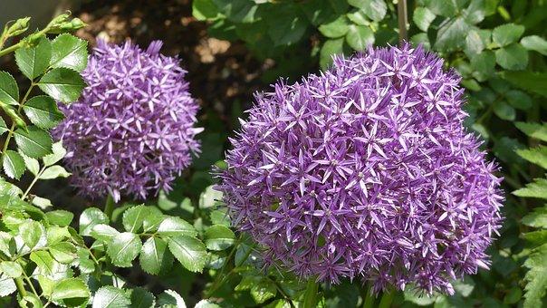 Blossom, Bloom, Flowers, Purple, Purple Flower, Close