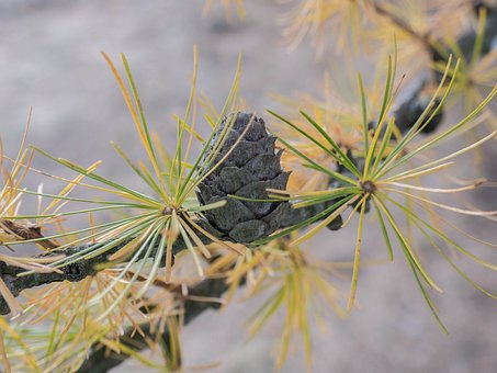 Pine Cones, Background Nature, Tap, Forest, Branch