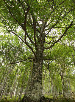 Tree, Trees, Beech, Hayedo, Forest, Nature, Trunks