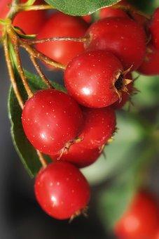 Hawthorn, Crataegus, Mountain Red, Red Fruit, Rosaceae