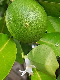 Limone, Fruit, Citrus Fruit, Sour, Fruits, Food
