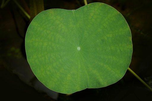 Lotus Leaf, Large Leaf, Green Leaf