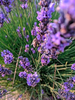 Lavender, Bees, Flower, Insect, Blossom, Plant, Flora