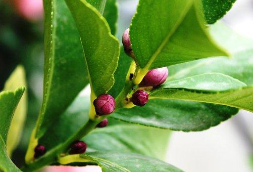 Lemon Tree, Buttons Lemon Tree, Flower Buds