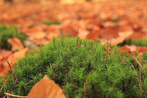Moss, Nature, Fall, Green, Natural, Forest, Plant