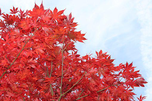 Maple, Red, Leaves, Tree, Autumn, Nature, Red Maple