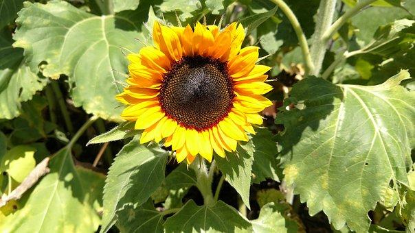 Sunflower, Petals, Garden, Nature, Yellow, Flower
