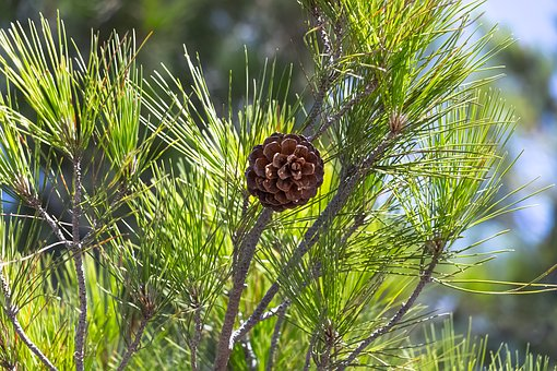 Pine Cone, Nature, Tree, Coniferous, Cones, Larch Cones