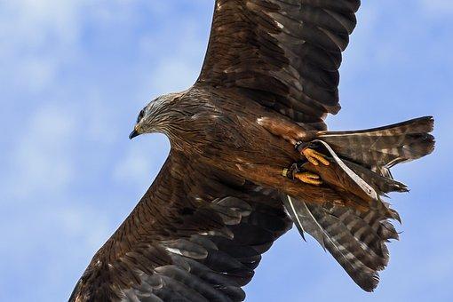 Buzzard, Fly, Raptor, Bird, Sky