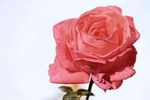 Rose, Pink, Salmon, Pink Rose, Rose Bloom, Blossom