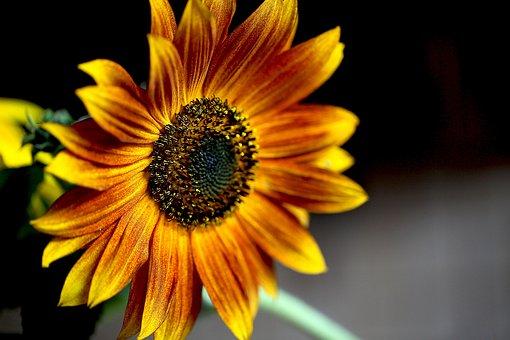 Sunflower, Ornamental Sunflower, Blooming Sunflower