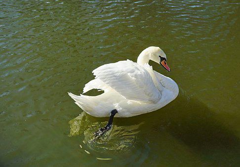 Swan, Pond, Water, Autumn, Reflection, Nature