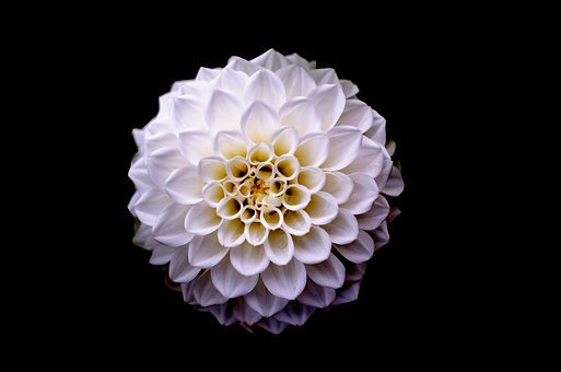 Dahlia, Floral, Flower, White, Background, Plant, Pink