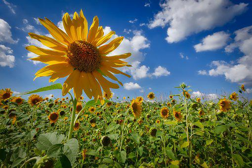 Sun Flower, Wölken, Sky, Field Of Flowers, Nature