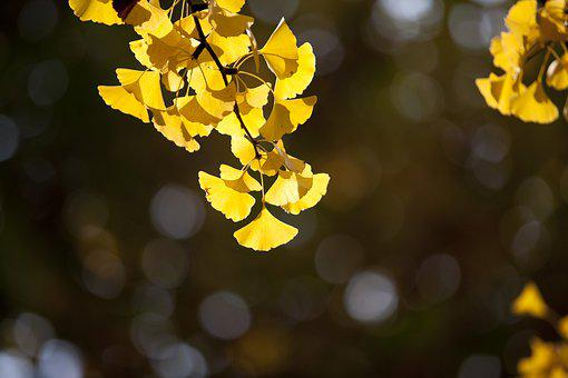 Ginkgo, Autumn, Leaves, Yellow, Leaf, The Leaves, Wood