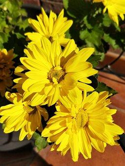 Flower, Yellow, Daisy