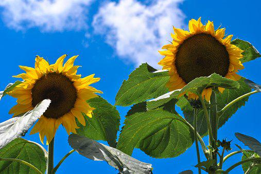 Sunflower, Nature, Yellow, Summer, Flower, Agriculture