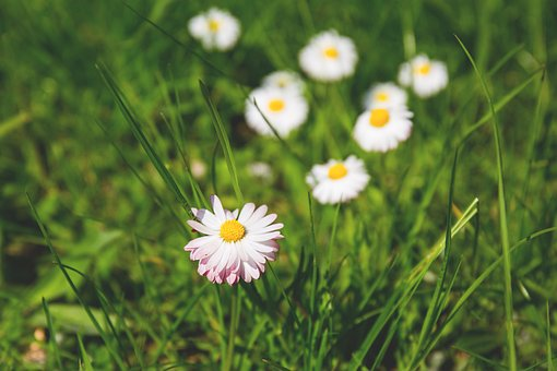 Nature, Bloom, Blooming, Blossom, Bud, Daisy, Field