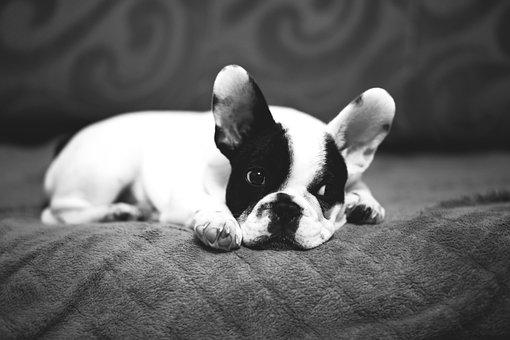 Animals, Adorable, Beautiful, Breed, Bulldog, Canine
