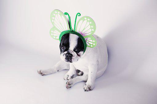 Animals, Black, Bulldog, Butterfly, Canine, Cute, Dog