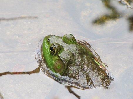 Frog, Bullfrog, Amphibian, Water, Wildlife, Pond