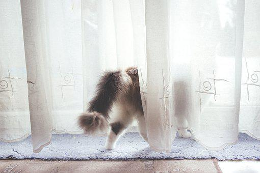 Animals, Back, Cat, Curtain, Curtains, Domestic