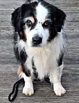 Dog, Pet, Australia Shepard, Male, Black White Brown