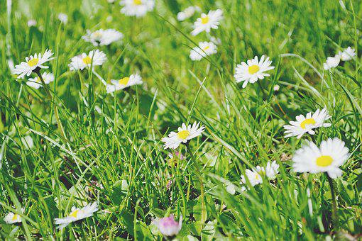 Nature, Daisies, Daisy, Flowers, Grass, Green, Meadow