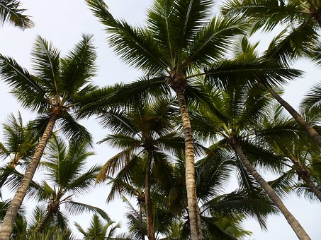 Palm Trees, High, Hot, Dominican Republic, Exotic