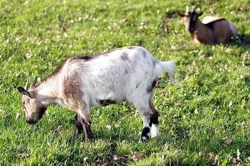 Goat, Goats, Village, Backyard, Meadow, Animal, Horns